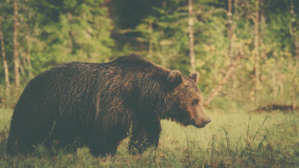 AlexanderKopatz_bears_expbur-004